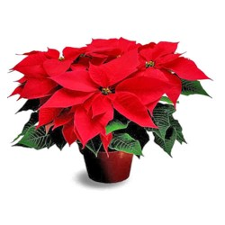 "Poinsettia in 8"" Pot-Red"